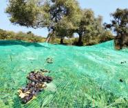açık renk zeytin toplama tülü